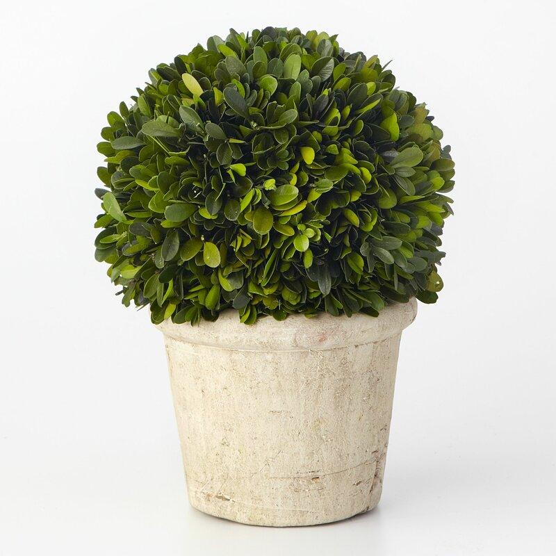 ophelia co boxwood desk top plant in pot reviews wayfair