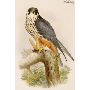 'Hobby' by John Gould Graphic Art by Buyenlarge