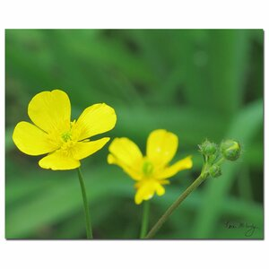 'Buttercup' by Kathie McCurdy Photographic Print on Canvas by Trademark Fine Art