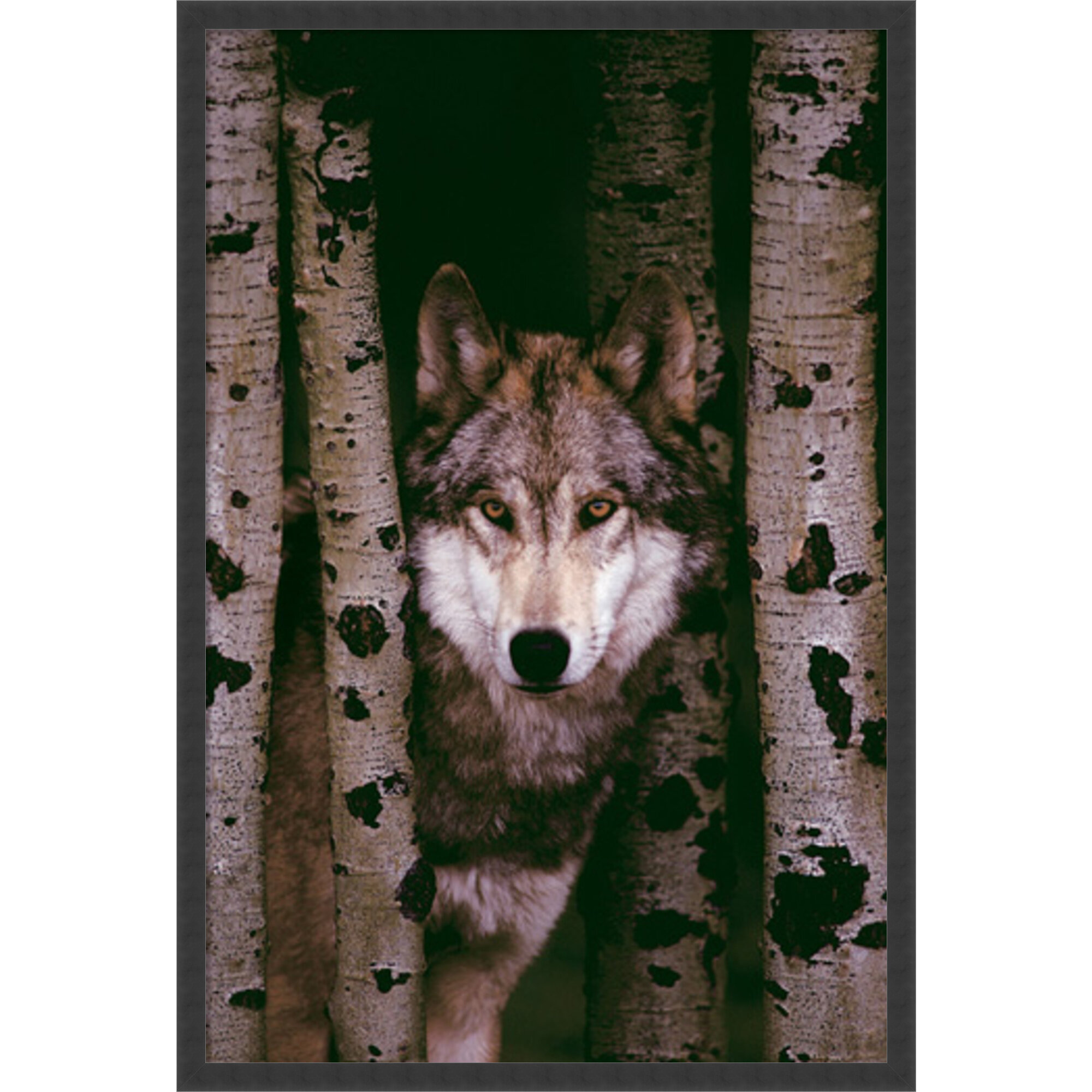 Amanti Art Gray Wolf By Anonymous Framed Photographic Print