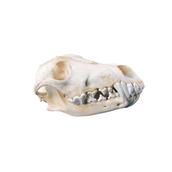 Decorative Animal Skulls Wayfair