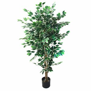 Ficus Tree in Pot