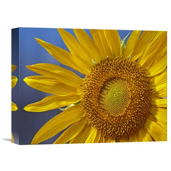 Nature Photographs Common Sunflower Flower, North America by Tim Fitzharris Photographic Print on Canvas by Global Gallery