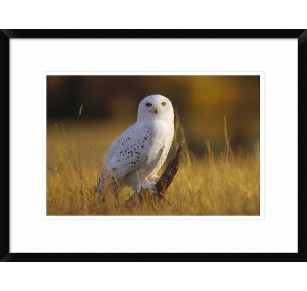 Snowy Owl Adult Amid Dry Grass, Circumpolar Species, British Columbia, Canada by Tim Fitzharris Framed Photographic Print by Global Gallery