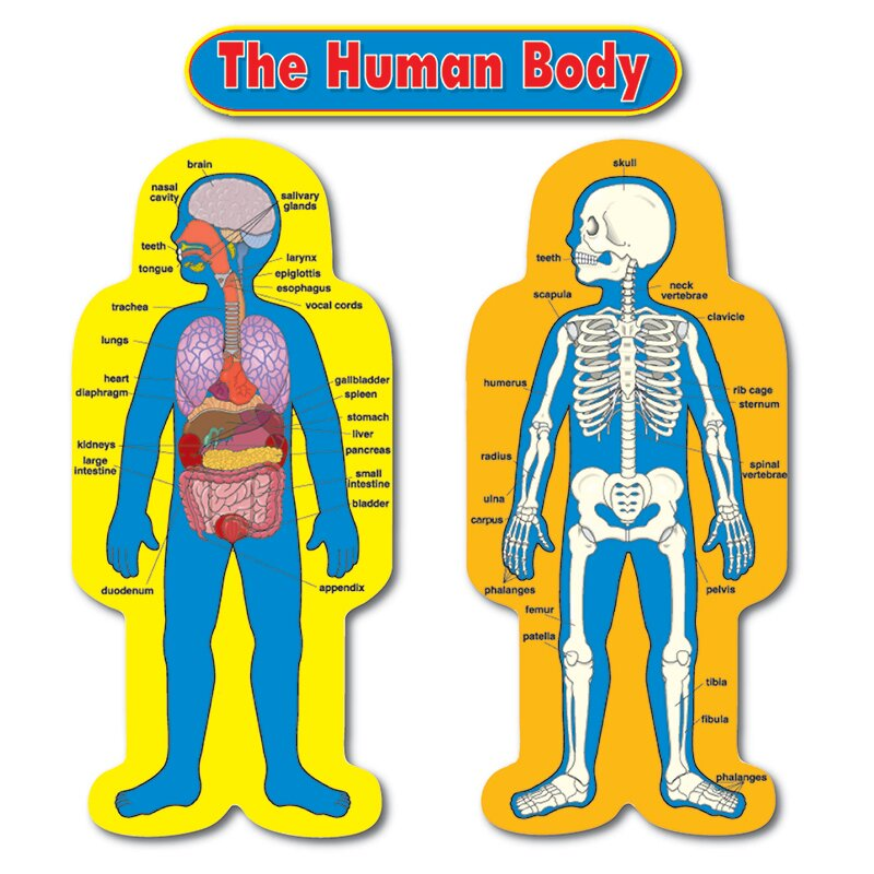 Carson Dellosa Publications Child-size Human Body Chart Set | Wayfair