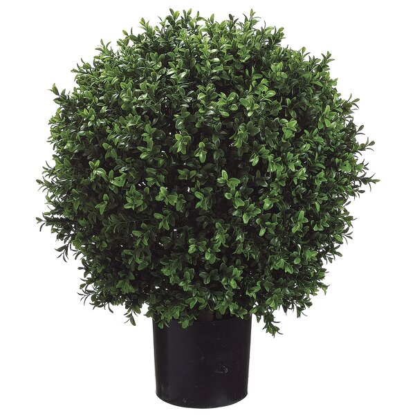Ball-Shaped Boxwood Topiary in Pot by Canora Grey