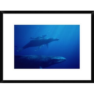 'Humpback Whale Mother and Calf with Male Escort' Framed Photographic Print by Global Gallery