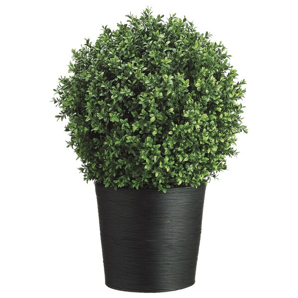 Boxwood Topiary in Pot by Latitude Run