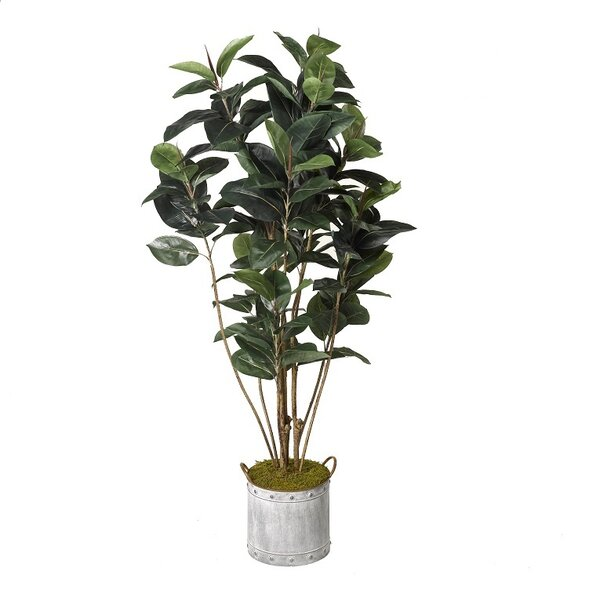 Rubber Tree Foliage Plant in Tin Planter by Red Barrel Studio