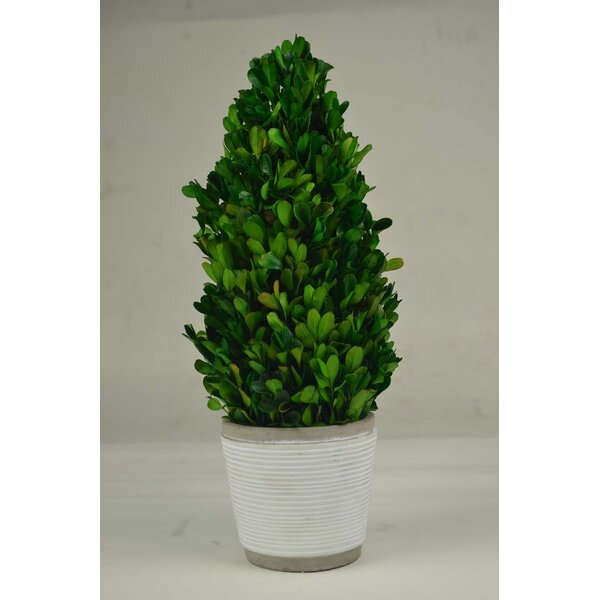Cone Boxwood Topiary in Planter by GT DIRECT CORP