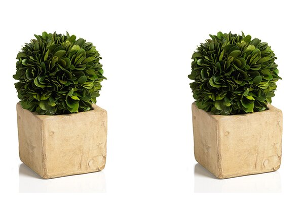 Carina Preserved Boxwood Desktop Topiary in Pot Set (Set of 2) by Zodax