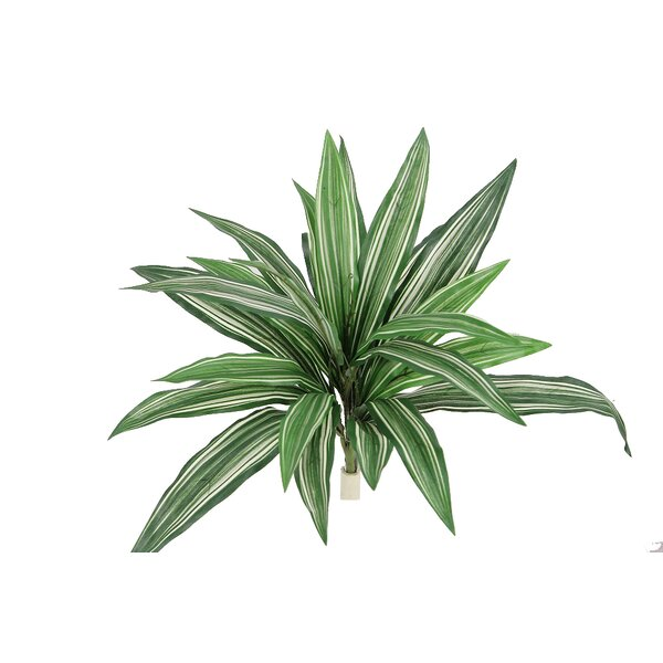 Dracaena Bush Desk Top Plant by Admired by Nature