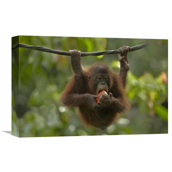Nature Photographs Orangutan Young Eating Fruit, Sabah, Borneo, Malaysia by Tim Fitzharris Photographic Print on Wrapped Canvas by Global Gallery