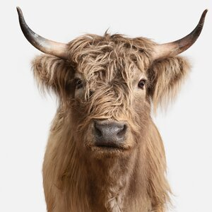 'Highland Cow II' Photographic Print on Canvas by Trent Austin Design