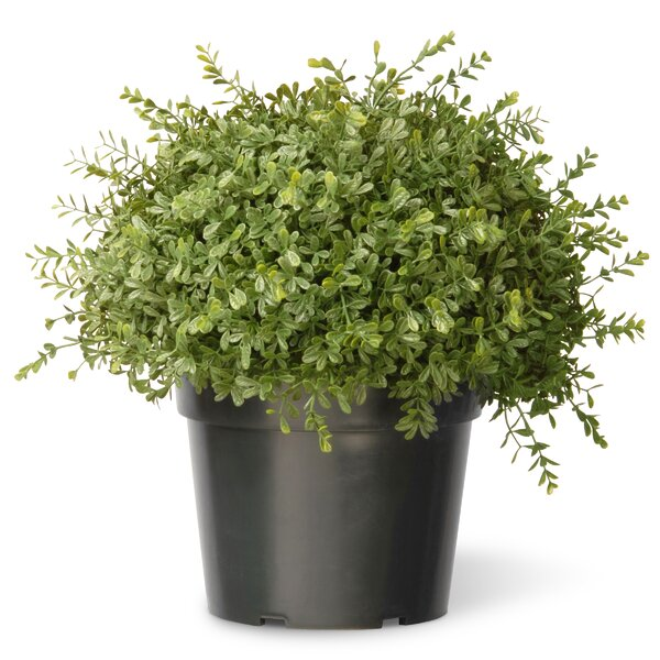 Tea Leaf Mini Ball Desk Top Plant in Pot by National Tree Co.