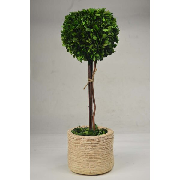 Boxwood Topiary in Pot by GT DIRECT CORP