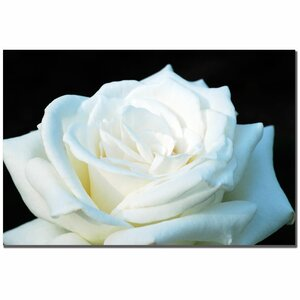 White Rose II by Kurt Shaffer Photographic Print on Wrapped Canvas by Trademark Fine Art
