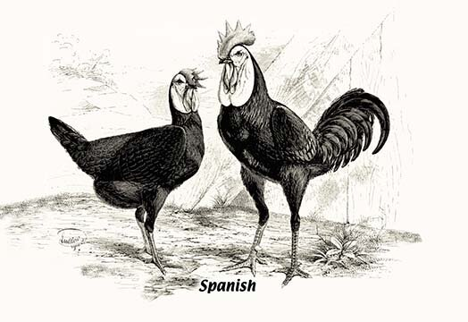 Buyenlarge Spanish Chickens Painting Print Wayfair