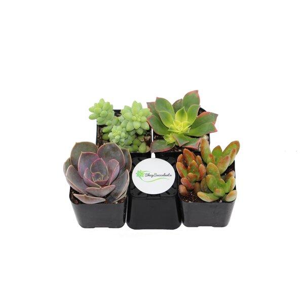 4 Pack Unique Succulent Desk Top Plant in Pot by ShopSucculents