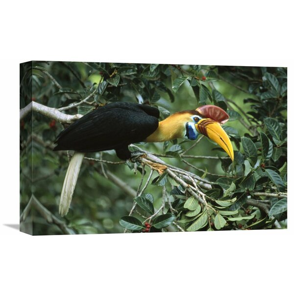 Nature Photographs Sulawesi Red-Knobbed Hornbill Male in Fruiting Fig tree, Sulawesi, Indonesia Photographic Print on Wrapped Canvas by Global Gallery