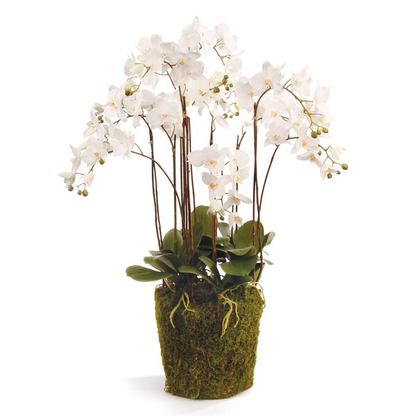 Phalaenopsis Drop in Plant by One Allium Way