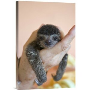 'Brown-Throated Three-Toed Sloth Baby' Photographic Print on Canvas by East Urban Home