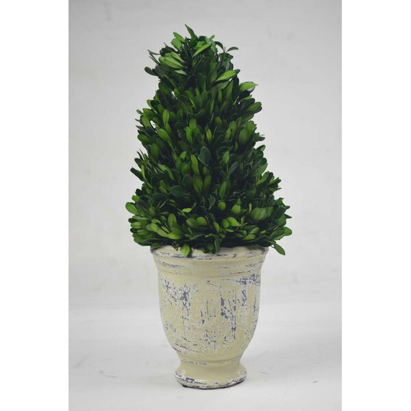 Cone Boxwood Topiary in Pot by GT DIRECT CORP