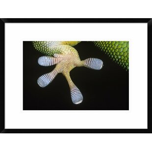 'Madagascar Day Gecko Underside Detail of Foot' Framed Photographic Print by Global Gallery