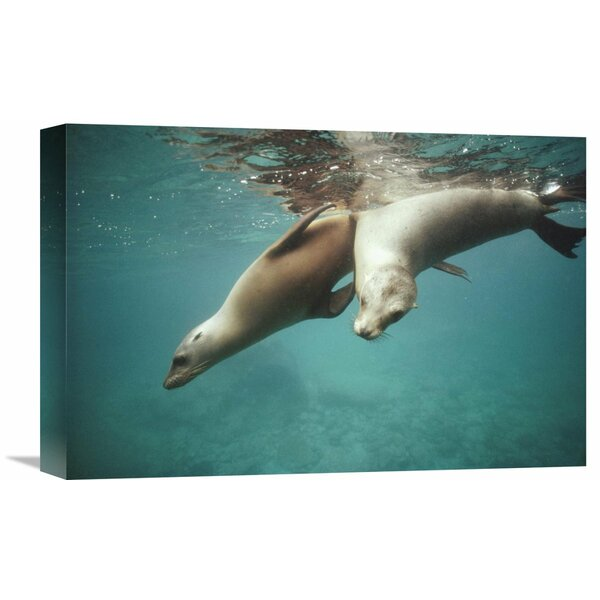 Nature Photographs California Sea Lion Juveniles Playing, Sea of Cortez,  Mexico Photographic Print on Wrapped Canvas by Global Gallery