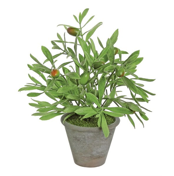 Olive Plant in Pot by August Grove