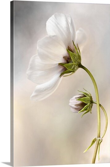 Cosmos by Mandy Disher Photographic Print on Canvas by Canvas On Demand