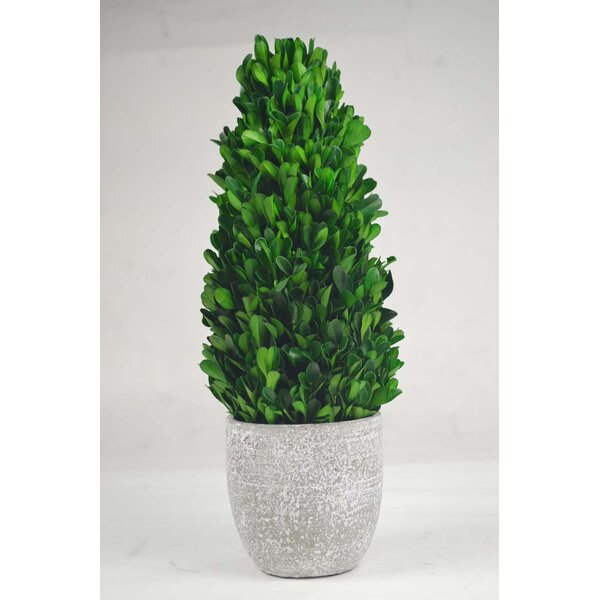 Tower Desktop Boxwood Topiary in Planter by GT DIRECT CORP