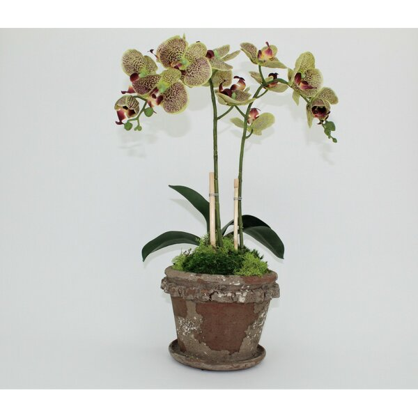 Double Clay Old World Orchid Flower in Pot by T&C Floral Company