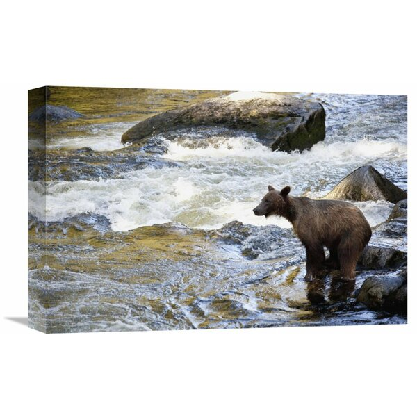 Nature Photographs Grizzly Bear Fishing Along Anan Creek, Tongass National Forest, Alaska by Matthias Breiter Photographic Print on Wrapped Canvas by Global Gallery