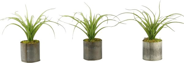 Curly Tillandsia Desk Top Plant in Planter (Set of 3) by Williston Forge