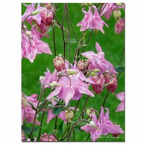 'Pink Columbine' by Kathie McCurdy Photographic Print on Canvas by Trademark Fine Art