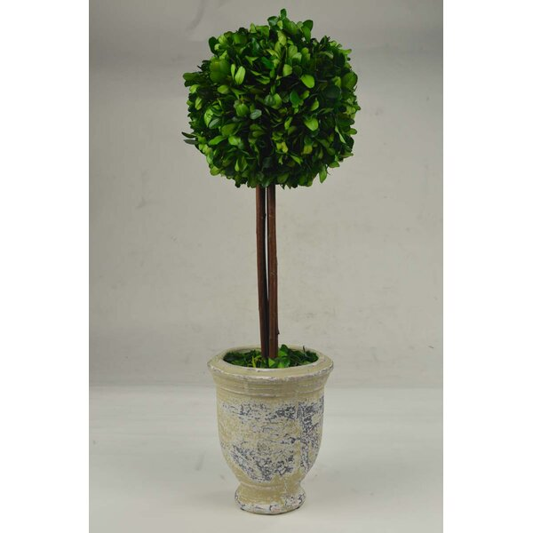 Ball Terracotta Boxwood Topiary in Pot by GT DIREC