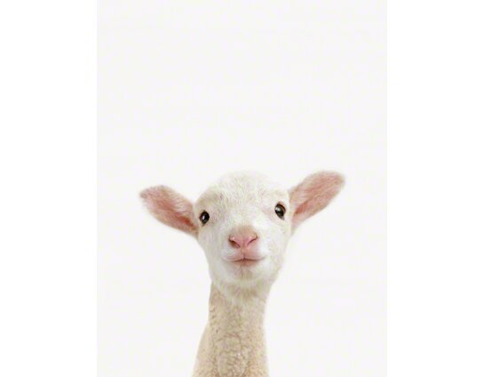 Little Darlings Lamb by Sharon Montrose Photographic Print by The Animal Print Shop by Sharon Montrose