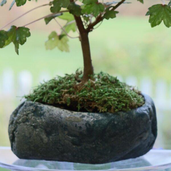 Pardee Natural Elements Rock Concrete Pot Planter by Bloomsbury Market