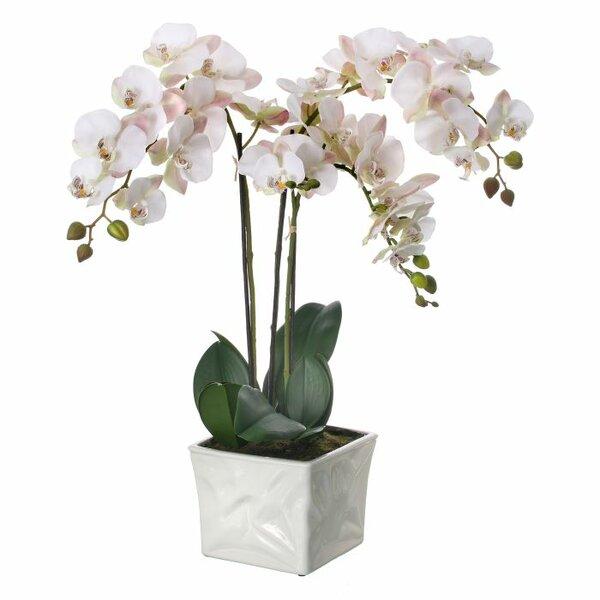 Phalaenopsis Orchids Floral Arrangement in Pot by Bloomsbury Market