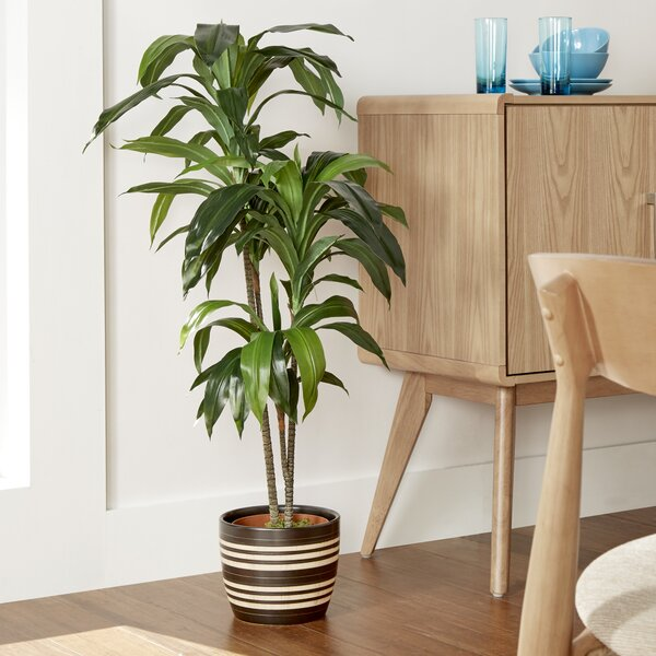Floor Dracaena Plant by Bloomsbury Market