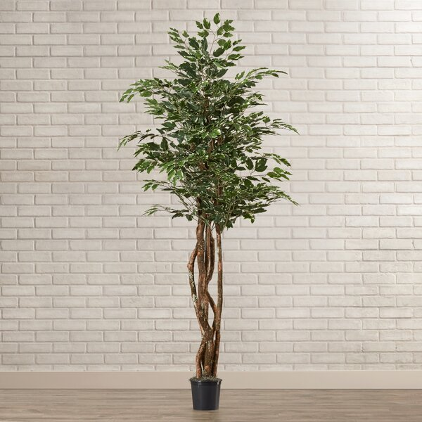 Fir Variegated Ficus Executive Tree in Pot by World Menagerie