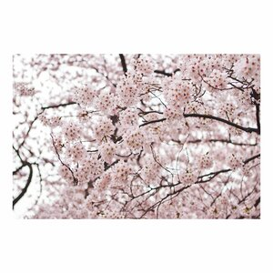 'Cherry Blossoms' by Ariane Moshayedi Photographic Print on Canvas by Trademark Fine Art