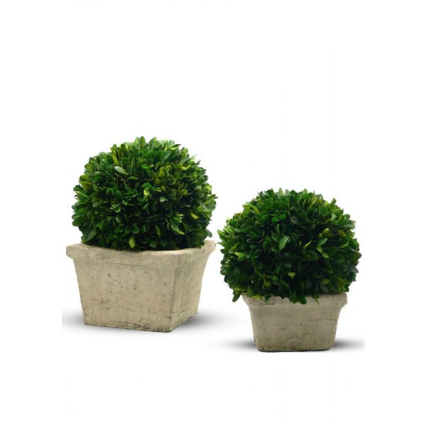 Boxwood Ball Topiary in Pot by Serene Spaces Living