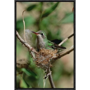 'Broad-Billed Hummingbird Building Nest' Framed Photographic Print on Canvas by East Urban Home