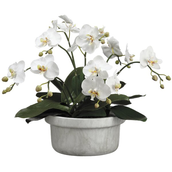 Phalaenopsis Flowering Plant in Pot by Everly Quinn
