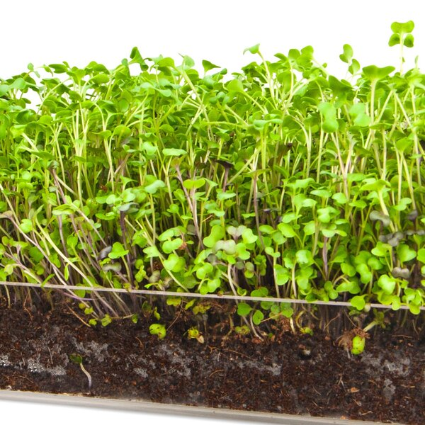 Microgreen Salad 3 Pack Refill Growing Kit by Window Garden