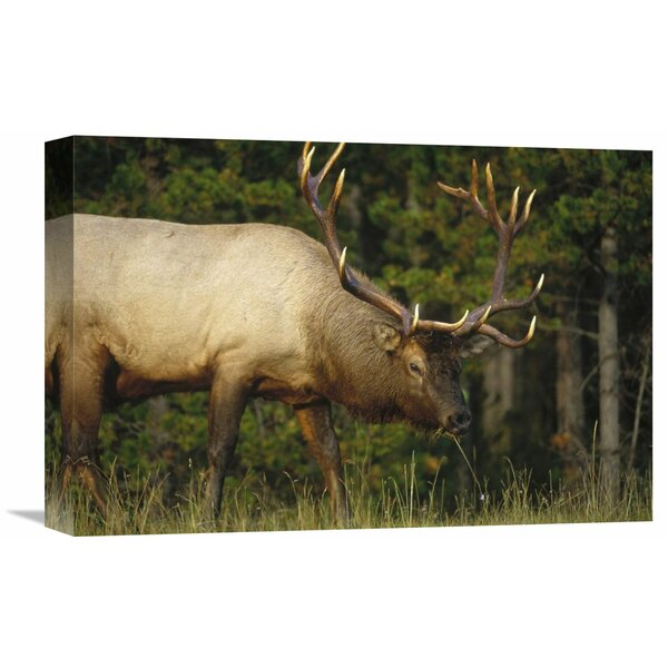 Nature Photographs Elk Grazing, North America Photographic Print on Wrapped Canvas by Global Gallery