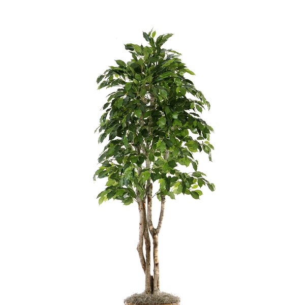 Green Ficus Tree in Planter by Distinctive Designs