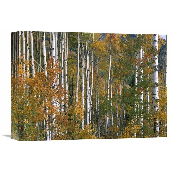 Nature Photographs Aspen Trees in Fall Colors, Lost Lake, Gunnison National Forest, Colorado Photographic Print on Wrapped Canvas by Global Gallery
